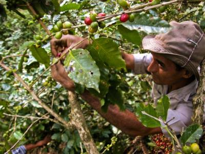 20160621200009-recolector-cubanode-cafe-en-santiago-de-cuba-foto-afp.jpg
